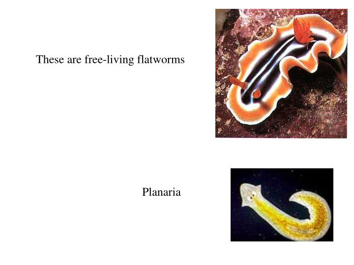 These are free-living flatworms