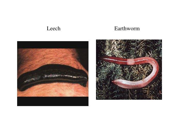 LeechEarthworm