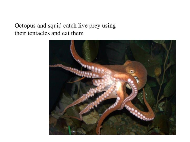 Octopus and squid catch live prey using their tentacles and eat them