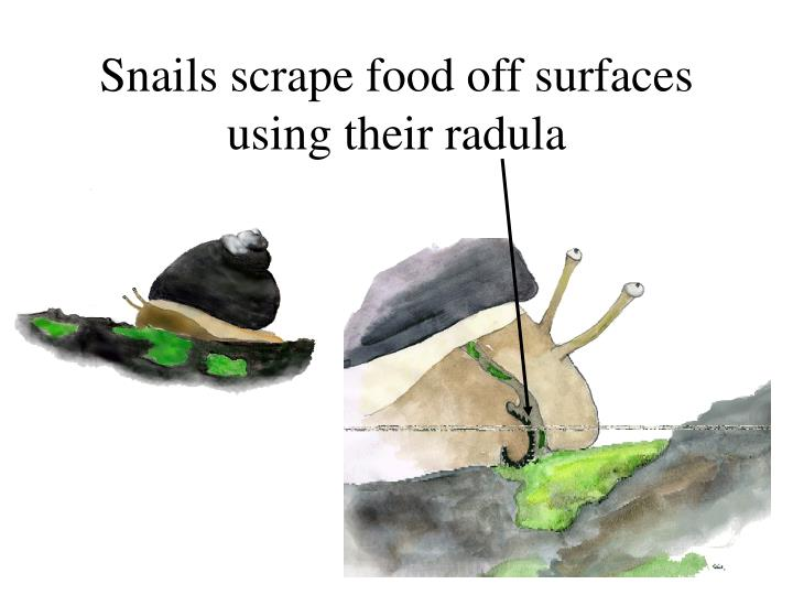 Snails scrape food off surfaces using their radula