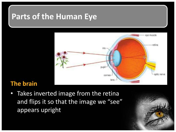 Parts of the human eye1