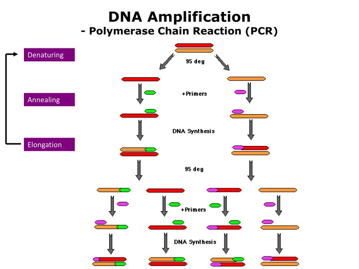 DNA Amplification