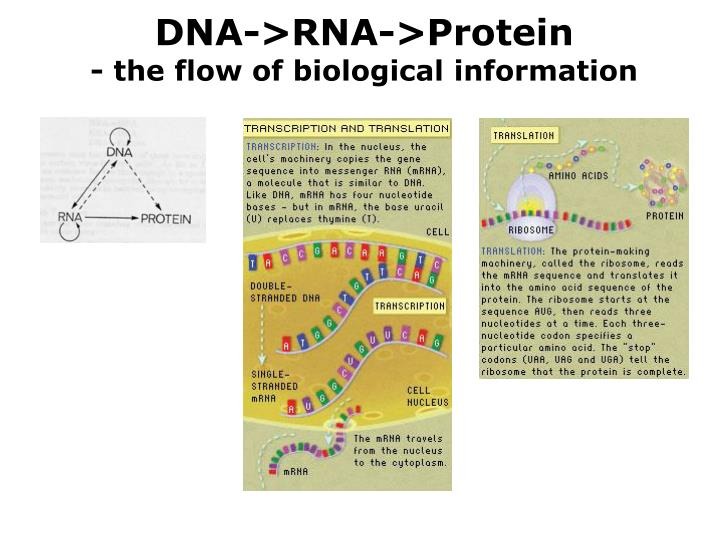 DNA->RNA->Protein
