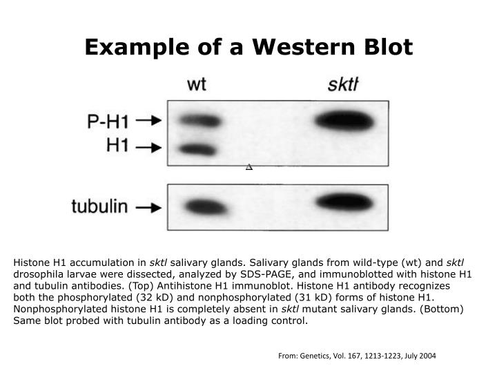 Example of a Western Blot