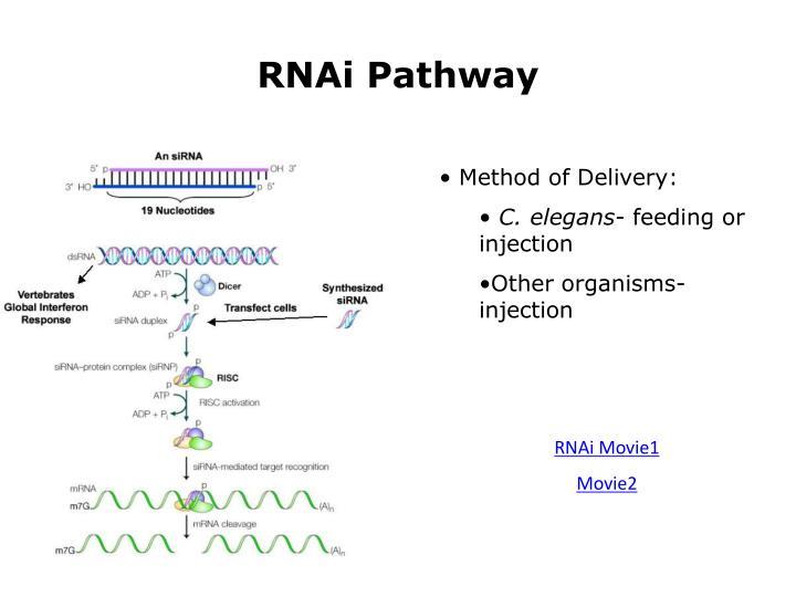 RNAi Pathway
