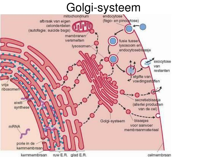 Golgi-systeem