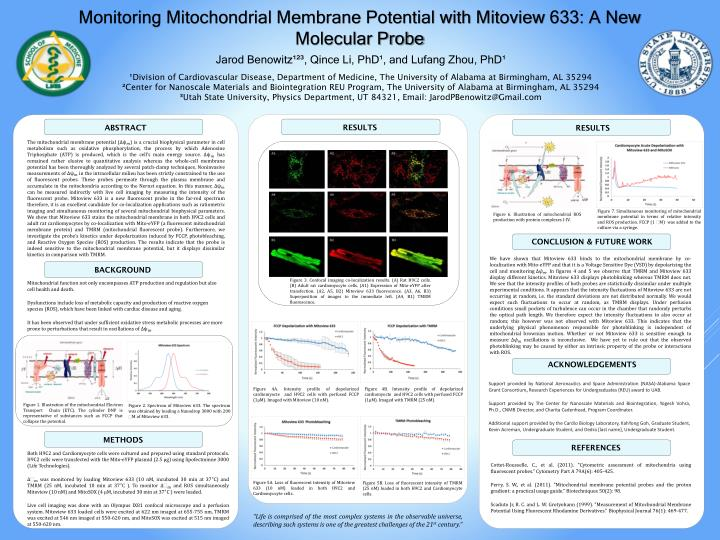The mitochondrial membrane potential (