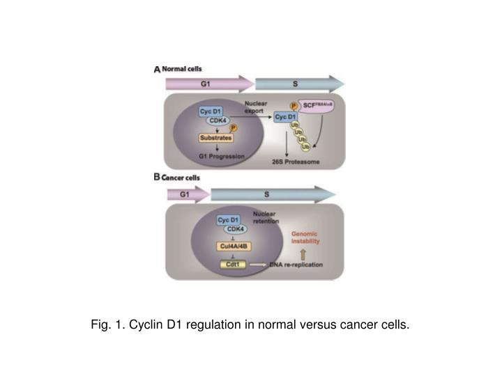 Fig. 1. Cyclin D1 regulation in normal versus cancer cells.