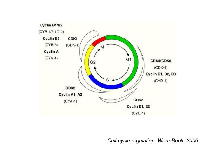 Cell-cycle regulation. WormBook. 2005
