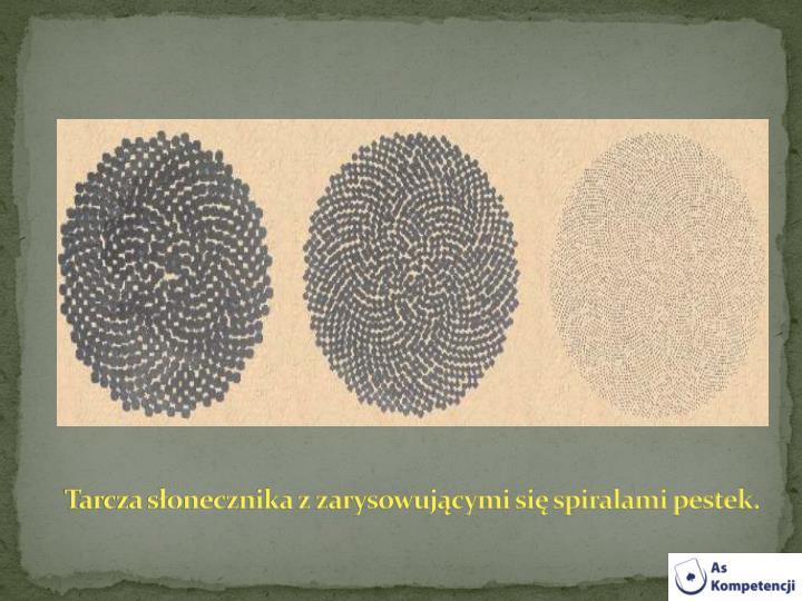 Tarcza słonecznika z zarysowującymi się spiralami pestek.