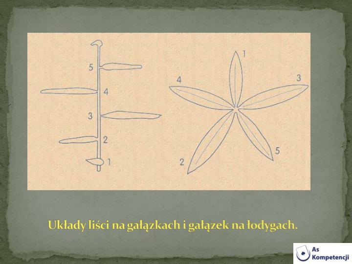 Układy liści na gałązkach i gałązek na łodygach.