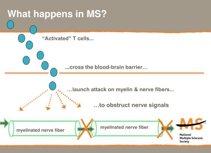 myelinated nerve fiber