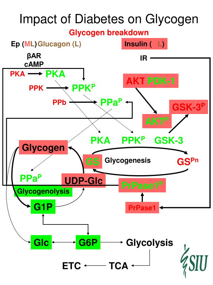 Impact of Diabetes on Glycogen