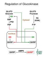 regulation of glucokinase