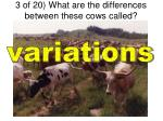 3 of 20 what are the differences between these cows called1