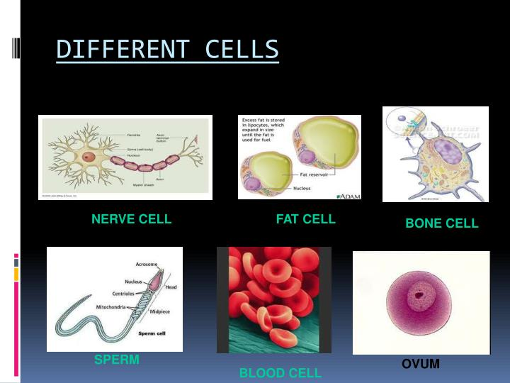 DIFFERENT CELLS