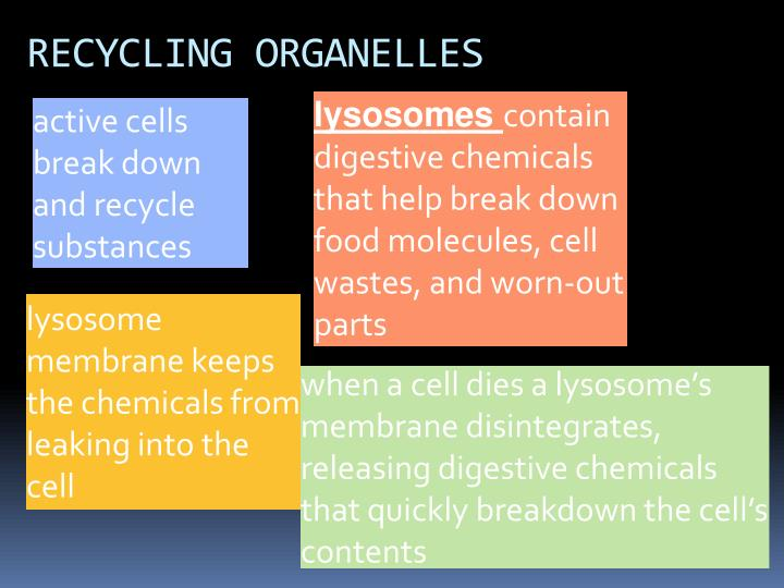 RECYCLING ORGANELLES
