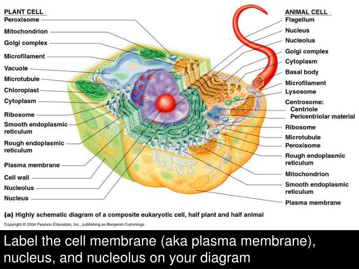 Label the cell membrane (aka plasma membrane),