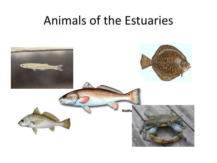 Animals of the Estuaries