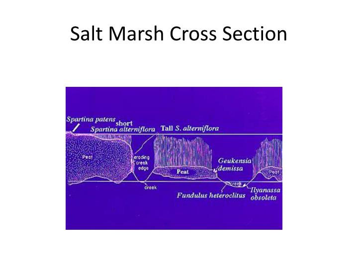 Salt Marsh Cross Section