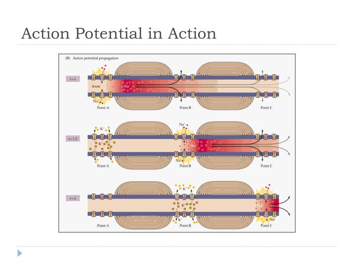 Action Potential in Action