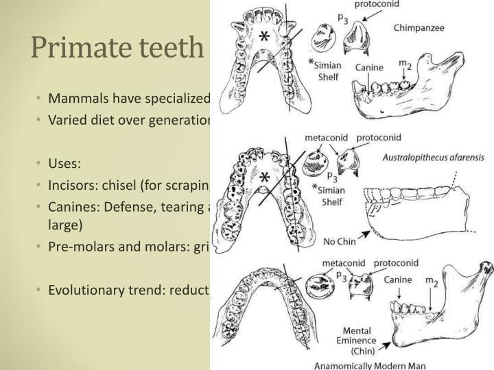 Primate teeth