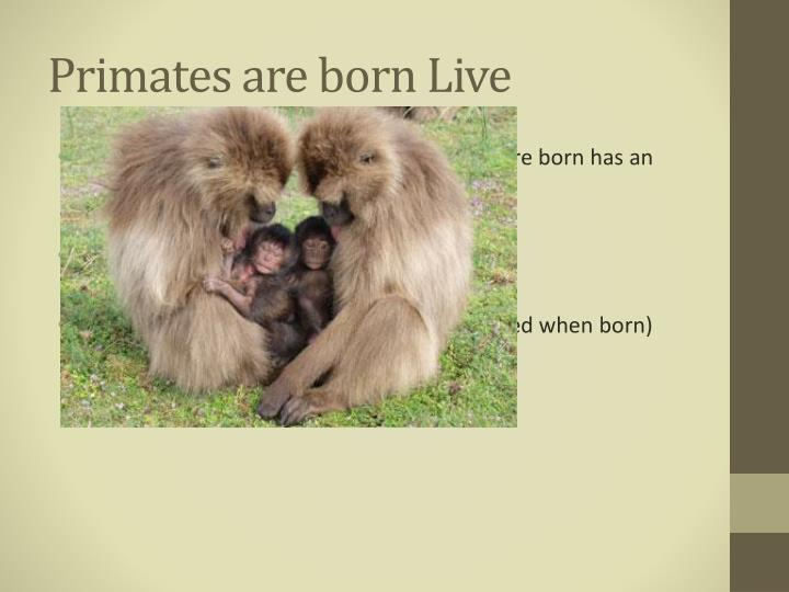 Primates are born Live