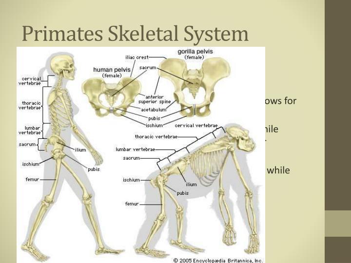 Primates Skeletal System
