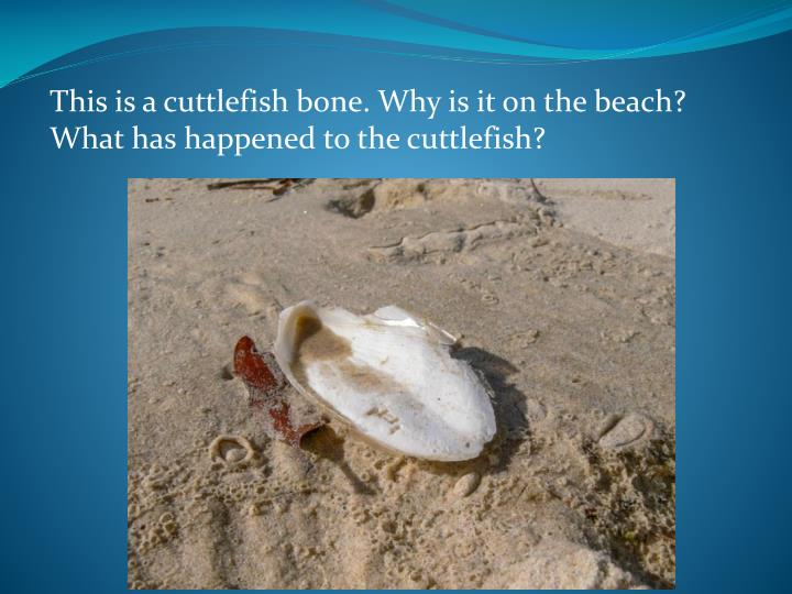 This is a cuttlefish bone. Why is it on the beach? What has happened to the cuttlefish?