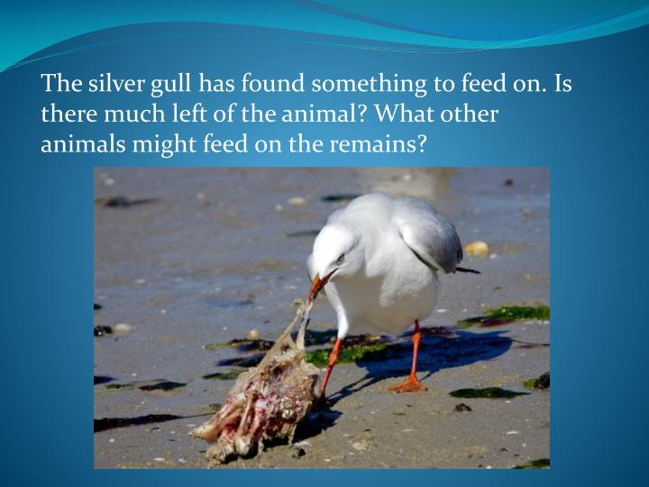 The silver gull has found something to feed on. Is there much left of the animal? What other animals might feed on the remains?