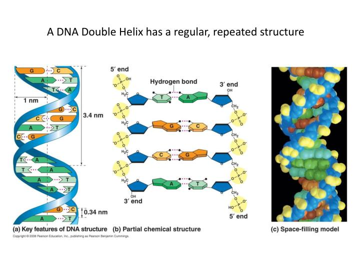 A DNA Double Helix has a regular, repeated structure