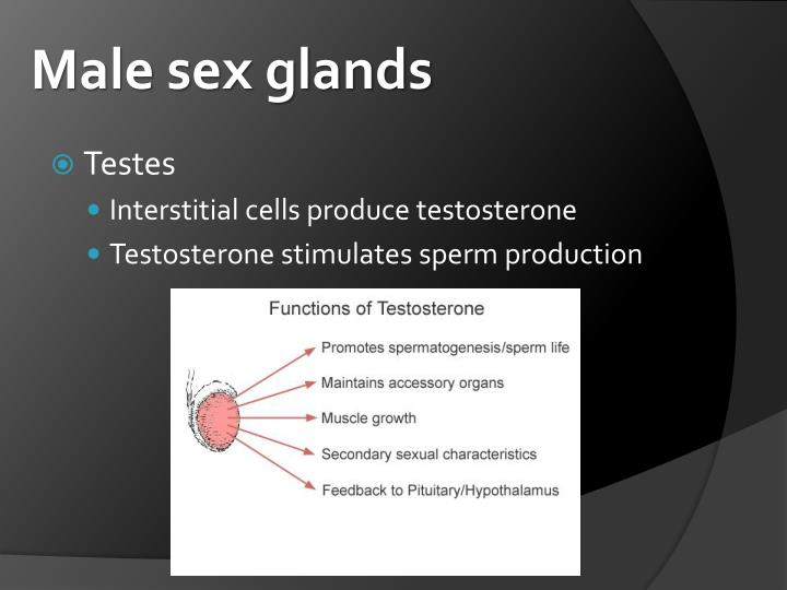 Male sex glands