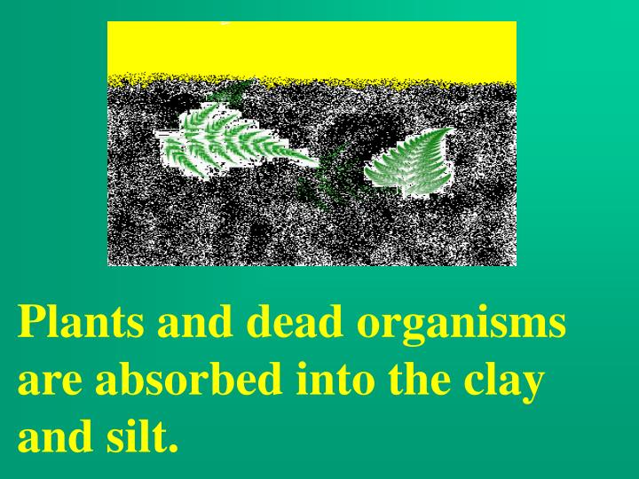 Plants and dead organisms are absorbed into the clay and silt.