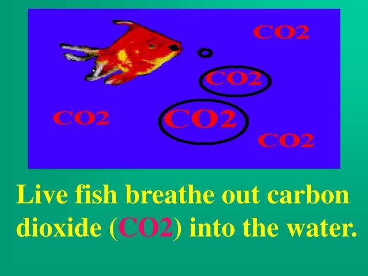 Live fish breathe out carbon dioxide (