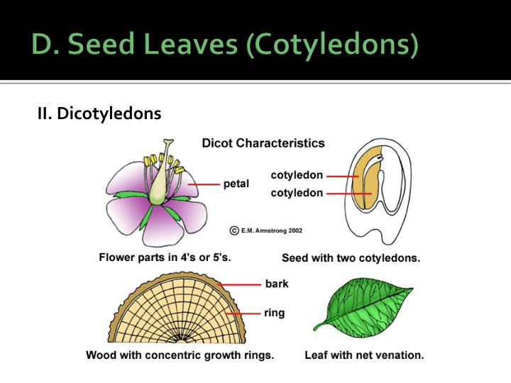 D. Seed Leaves (Cotyledons)
