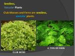 club mosses and ferns are seedless vascular plants