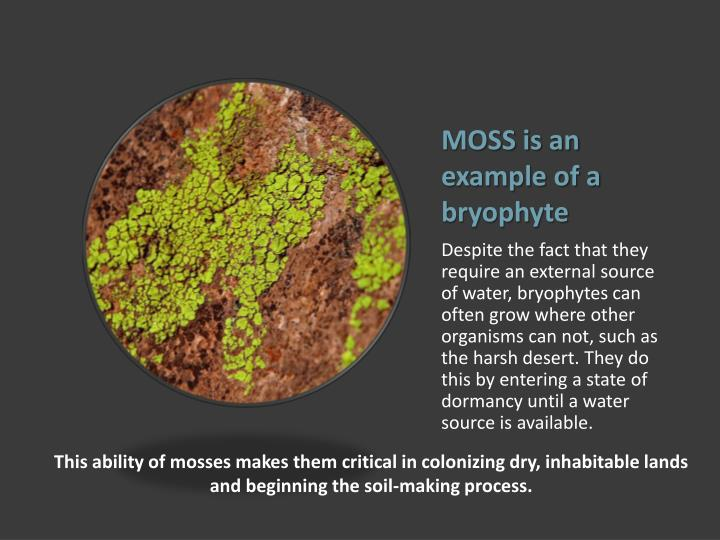 MOSS is an example of a bryophyte
