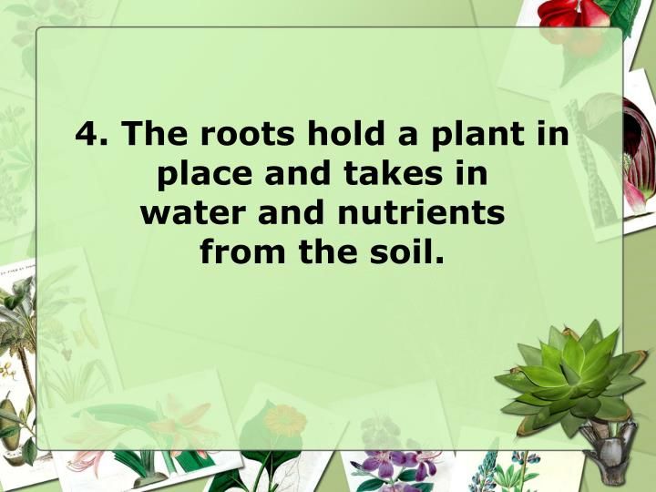 4. The roots hold a plant in place and takes in