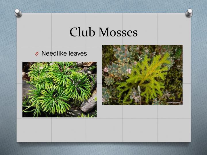 Club Mosses