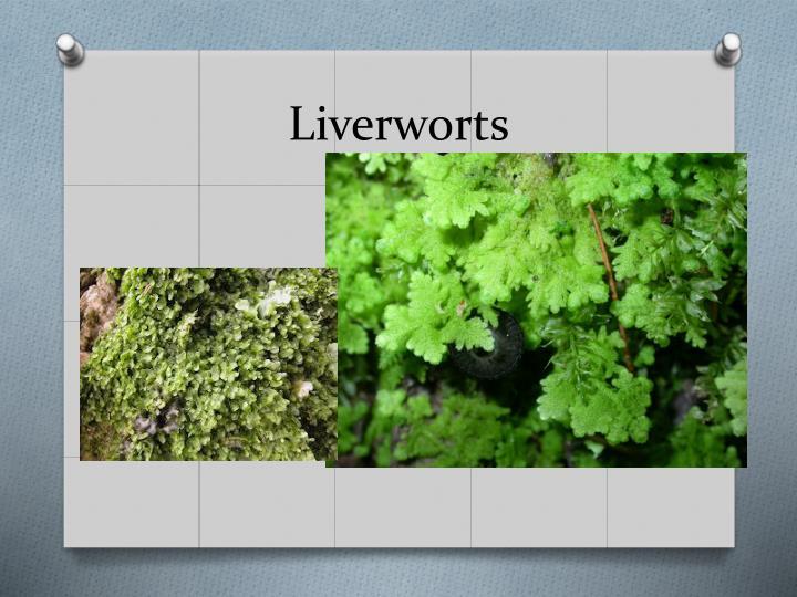 Liverworts