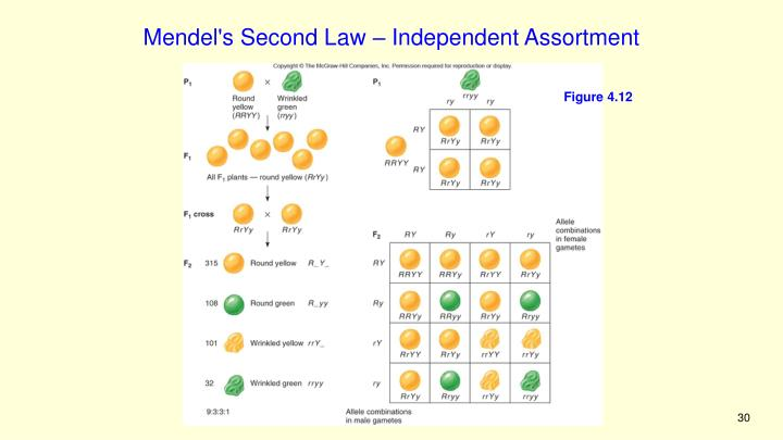 Mendel's Second Law – Independent Assortment