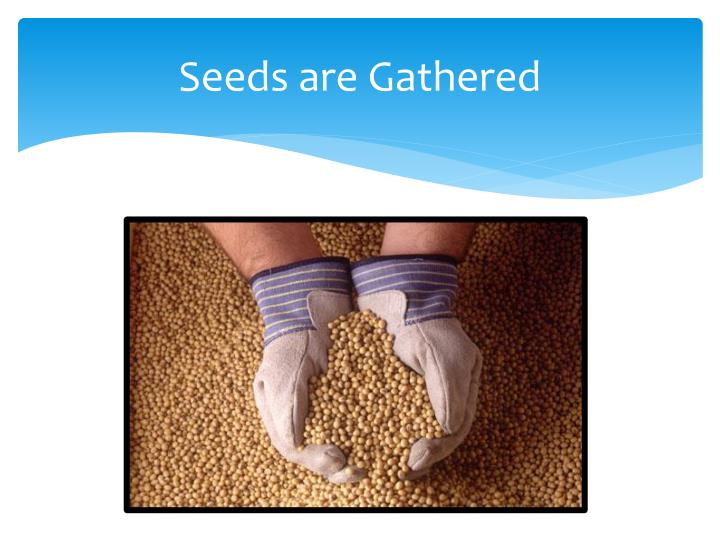 Seeds are Gathered