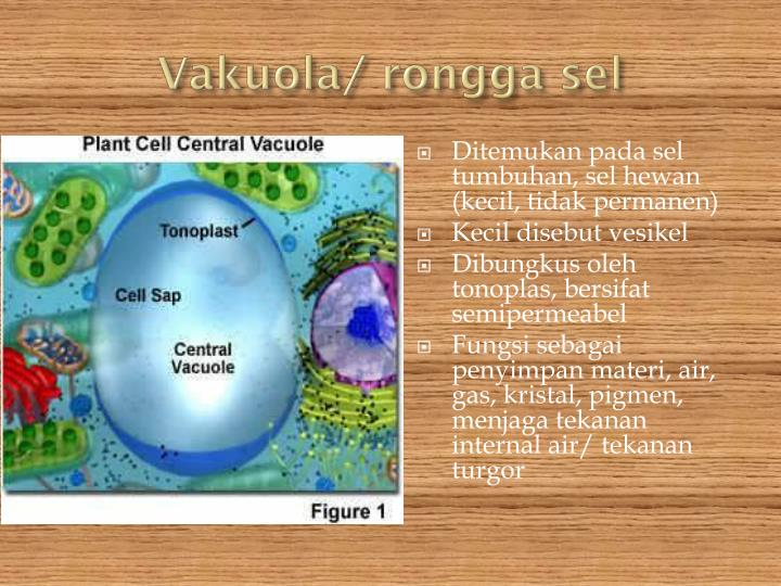 Vakuola/ rongga sel