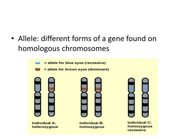 Allele: different forms of a gene found on homologous chromosomes