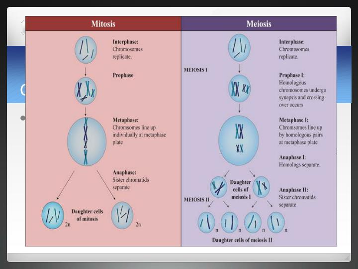 Comparing Meiosis and Mitosis
