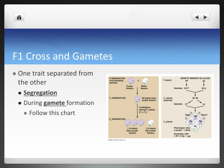 F1 Cross and Gametes