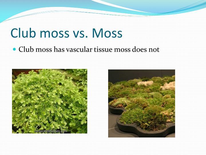 Club moss vs. Moss