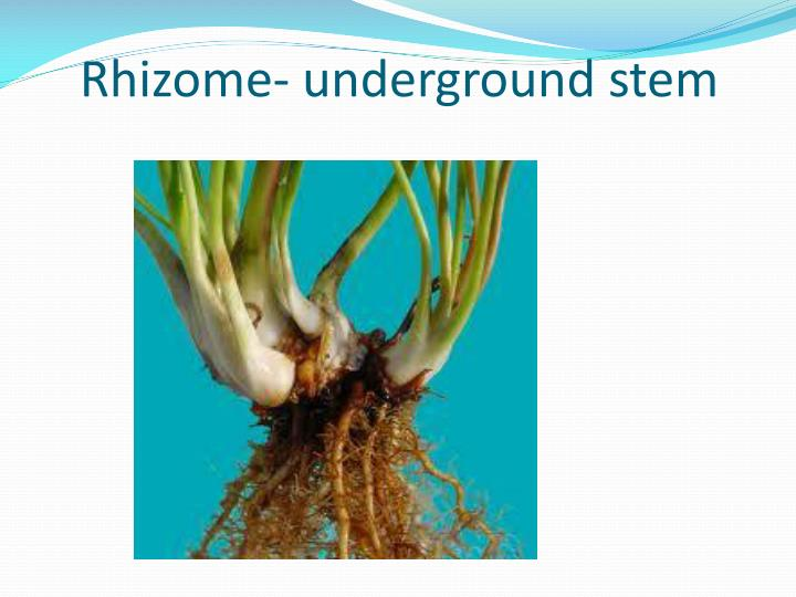 Rhizome- underground stem