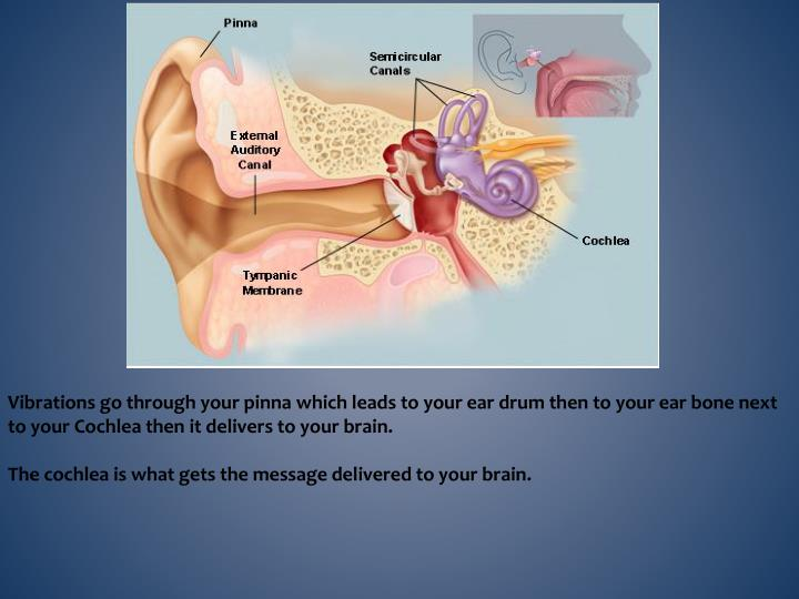 Vibrations go through your pinna which leads to your ear drum then to your ear bone next to your Cochlea then it delivers to your brain.