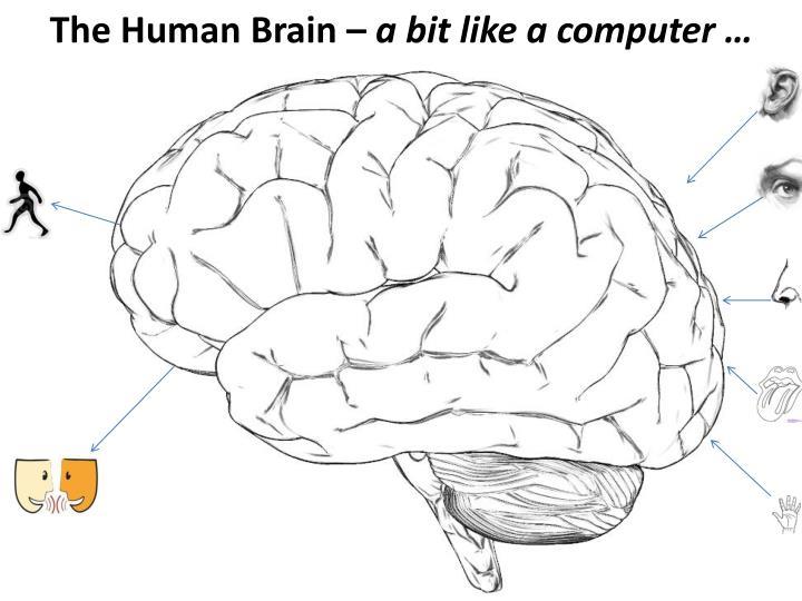 The Human Brain –